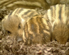 European wild boar piglets (sus scrofa) siblings side by side in nest - close up Stock Footage