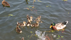 Duck with ducklings swimming in the pond and catch the bread crumbs. Stock Footage