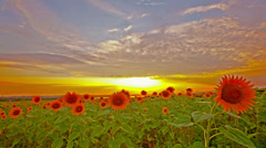 Flowering sunflowers on a background sunset. 4K. FULL HD, 4096x2304. Stock Footage