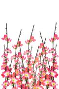chinese new year cherry blossoms background - stock photo