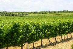 vineyards in languedoc-roussillon - stock photo