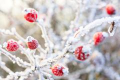 Winter background, red berries on the frozen branches covered with hoarfrost Stock Photos