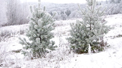 Frozen coniferous trees Stock Footage