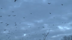 Crows In Flight Stock Footage