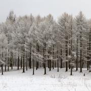 Wintry forest with snowy trees Stock Photos