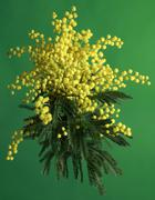 Mimosa acacia dealbata Stock Photos