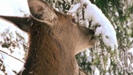 Stock Video Footage of deer winter is looking for fir buds