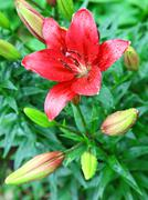 open red lily with drop of rain - stock photo