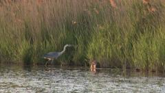 grey heron  (ardea cinerea) and coypu (myocastor coypus) - stock footage