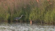 Stock Video Footage of grey heron  (ardea cinerea) and coypu (myocastor coypus)