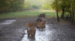 Group of wild boar Stock Footage