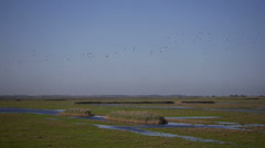 Flock of barnacle geese Stock Footage