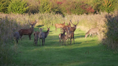 Herd of deer in the fall at sunset Stock Footage