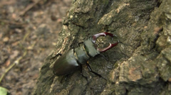 Stag beetle (Lucanus cervus) male creeping along the English oak Stock Footage
