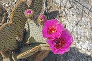 Stock Photo of beavertail cactus in the desert