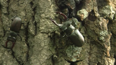 Stock Video Footage of Stag beetle (Lucanus cervus) male creeping along the English oak