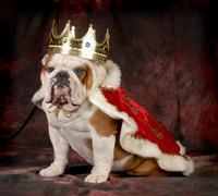Spoiled dog Stock Photos