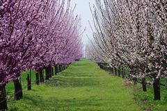 orchard with flowering trees - stock photo