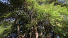 Tree of Tule Stock Footage