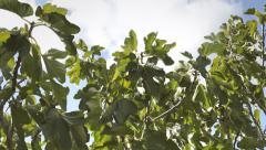 Fig tree sky clouds light wind Stock Footage