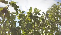 Fig tree strong light leak - stock footage