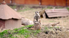 Stock Video Footage of Meerkat