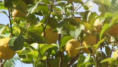 Stock Video Footage of Lemon tree close up light leaks