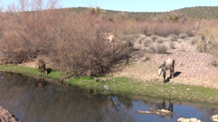 Wild Horses Grazing Along the Salt River Stock Footage