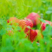 strawberries lying on green grass - stock photo