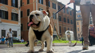 Stock Video Footage of A Bulldog in Rome