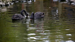 Black Swans Stock Footage