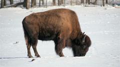 Bison - Buffalo Stock Footage