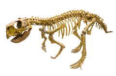 psittacosaurus skeleton - stock photo
