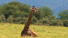 Female African giraffe relaxing in the grass Stock Footage