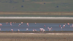 Pink Flamingos take off and land Stock Footage