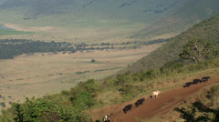 maasai lead cattle up hill - stock footage