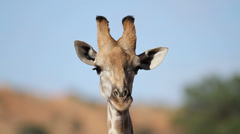 Giraffe portrait Stock Footage