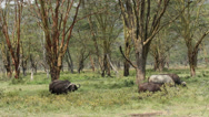 Stock Video Footage of Grazing African buffaloes