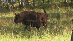 Bison in the forest Stock Footage