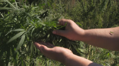 Cannabis Stock Footage