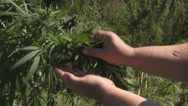 Stock Video Footage of Cannabis