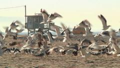 Los Angeles California Seagull Flying At Venice Beach With Lifeguard House Stock Footage
