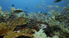 Stock Video Footage of Coral reef abundant with fish marine life