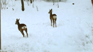 Stock Video Footage of some deers in the forest winter.