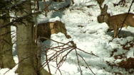 Stock Video Footage of antelope run in snow forest