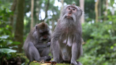 Macaque monkeys grooming one another - stock footage