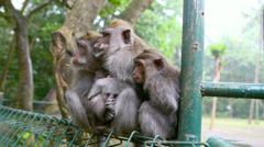 Macaque monkey family sitting in the rain Stock Footage