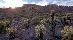Jumping cholla cactus cylindropuntia fulgida 11 Stock Footage