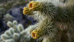 Jumping cholla cactus cylindropuntia fulgida 8 Stock Footage
