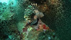 Lionfish with glassfish marine life amazing Stock Footage